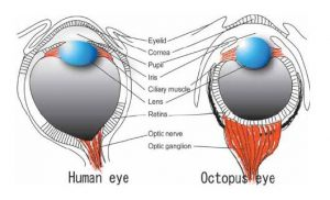 Octopus and Human eyes
