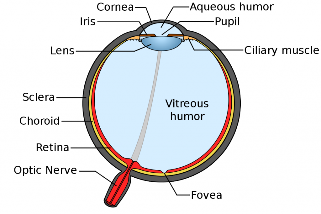 eye_anatomy